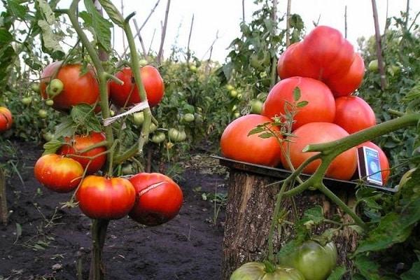 8 сортов крупных томатов для тепличного выращивания