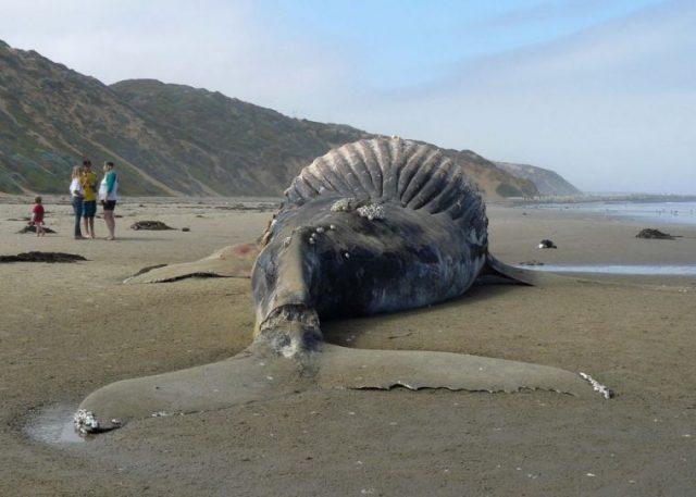 Специалисты рассказали, почему киты взрываются на суше