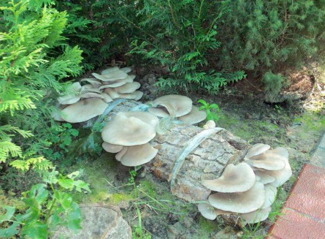 Как вырастить много грибов на садовом участке