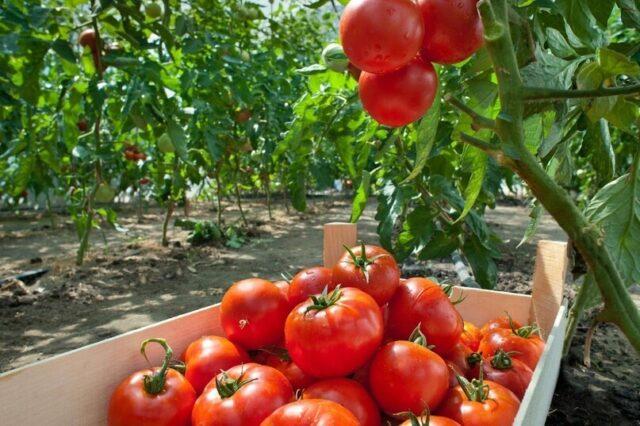 Выращивание помидоров в открытом грунте – краткое пособие для дачников